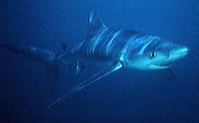 blue_shark