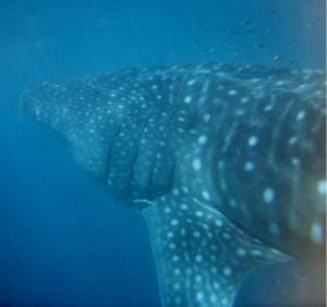 whale_shark_australia